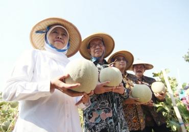 Khofifah : Ayo Berkebun, Melon Jawa Timur Manis Kriuk-Kriuk
